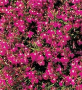 Lobelia Cascade Red Appx 6,000 seeds